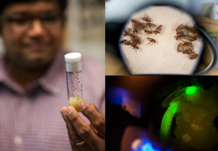 Dr. Ajay Srivastava and his students are using the Drosophila species of fruit fly to study how cancer cells migrate and grow. Above left: Dr. Srivastava holds a vial of fruit flies. Top right: Two sets of flies are shown under a microscope. One set has normal unfolded wings while in the other group the wings fail to unfold due to a mutation in a gene shown to be involved in tumors. Lower right: In this fly larvae, the tumor tissue is tagged with a green fluorescent protein, a simple and easy way of visualizing the tumor tissue in the organism. (WKU photos by Bryan Lemon)