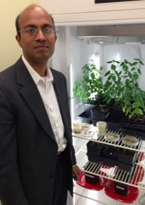 Dr. Chandra Emani, assistant professor of plant molecular biology at WKU-Owensboro, is conducting research on the pharmaceutical and therapeutic benefits of the basil plant.