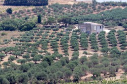 Olive groves near Eraclea Minoa along the Mediterranean coast.