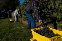 Grape harvest Sept. 23 at WKU Farm.