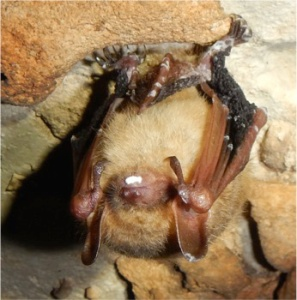 Infected Tri-color bat in Crumps Cave shows clear signs of infection by the fungus associated with White Nose Syndrome.  On Tuesday (Feb. 10) numerous bats in the cave showed similar signs of the malady, which is typically fatal.  Photo by Rick Toomey.