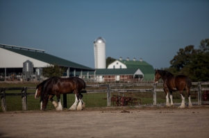 The Budweiser Clydesdales stayed at the WKU Farm during a visit to the area last week.