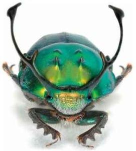 Onthophagus rangifer Klug