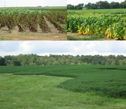 State climatologist Stuart Foster toured areas of western Kentucky on Aug. 2 to document the impact of July's record-breaking rainfall. While the extent of crop loss will not be known until harvest, flash flooding and ponding of water has damaged some crops like tobacco fields in Trigg County (top left) and near the Todd-Christian county line (top right). Pastures and other crops, like a soybean field in Caldwell County (above), have benefited from the rainfall. (Photos by Dr. Stuart Foster)