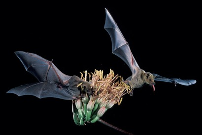 Lesser long-nosed bats are endangered species that pollinate agave and southwestern columnar cacti. (Photo by U.S. Fish and Wildlife Services)