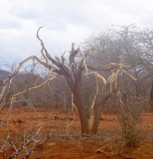 A tree with extensive elephant damage in Rukinga Ranch in Kenya.
