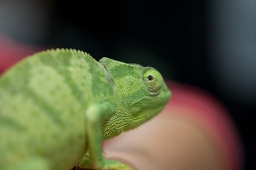 Sydnie Gordon is conducting research on communication pathways in chameleons.